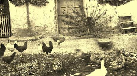 Enten, Hühner und Gänse gehörten früher auf jeden Bauernhof. Manchmal gesellte sich sogar ein prächtiger Pfau dazu.