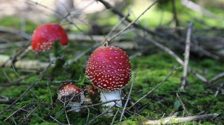 Wunderschön, aber giftig: Die giftigen Fliegenpilze sind mit ihrem roten Hut und den weißen Tupfen die Kinderbuchstars.