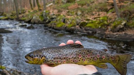Viele heimische Fischarten sind gefährdet. Dazu gehört auch die Bachforelle, die klare, kühle Gewässer braucht.