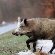 Wildschweine waren am Montag auf der B16 unterwegs.
