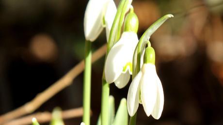 Schneeglöckchen statt Eisblumen: In vielen Gärten spitzen schon die ersten Frühblüher aus dem Boden.