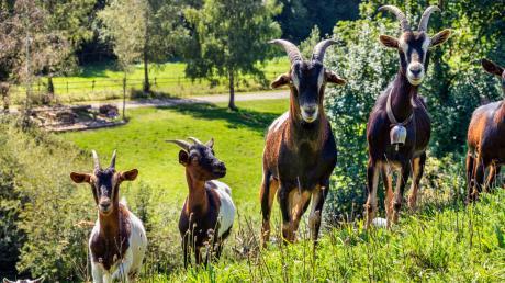 Im Schwäbischen Bauernhofmuseum Illerbeuren können Besucher heuer den Aufbau einer historischen Sägemühle live miterleben, die bis zum letzten Jahr in Hettisried stand. Die schwäbischen Ziegenzüchter feiern mit zwei Aktionstagen – und vielen Tieren – ihr 100-jähriges Bestehen im Freilichtmuseum.
