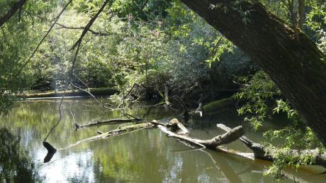 So verwunschen und eingewachsen wie der sogenannte Biberteich bei Pfaffenhausen im vergangenen Sommer war, sieht er jetzt nicht mehr aus. Vor einigen Wochen wurden dort großflächig Bäume und Büsche abgeholzt.