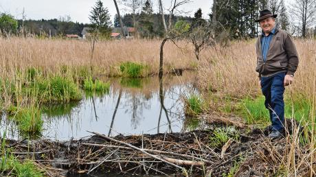 Die Gemeinde Erkheim erwarb mit zahlreichen Tauschgrundstücken ein insgesamt 16,3 Hektar großes Areal rund um das Wasenmoos. Nachbar Albert Mooser zeigt eine Stelle, an der der Biber bereits mit der Aufstauung des Haselbaches begonnen hat.