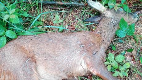 Dieser tote Rehbock lag im Wald bei Saulengrain.