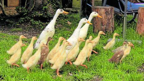 """Immer im Pulk sind die drei großen Enten mit ihren Jungen im Garten der Kirchheimer Familie unterwegs. Aufgrund ihrer Form nennt man die Laufenten auch """"Flaschenenten"""". Schnecken sind vor ihnen nicht sicher – der Salat allerdings auch nicht."""