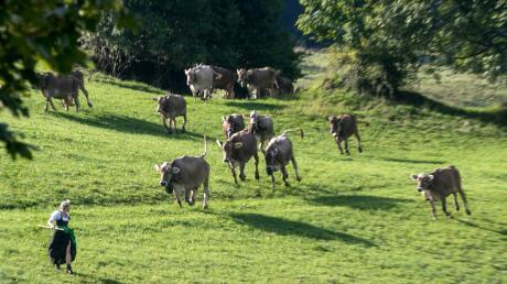 Auf der Alpe im Allgäu hat nicht nur das Jungvieh seine Freiheit genossen. Auch für unseren Autor war es früher ein ganz besonderer Tag, wenn die Rinder in die Berge gebracht wurden.
