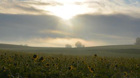 Die aufgehende Sonne rückt das Sonnenblumenfeld in ein besonderes Licht.