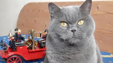 Sie hat blaues Blut, samtweiches Fell in Kartäuserblau und ist sich ihrer Wirkung sehr wohl bewusst: Gina-Lisa von Diamond-Castle ist die heimliche Herrin im Mindelheimer Feuerwehrhaus.
