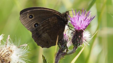 Das Blaukernauge ist ein relativ großer Edelfalter, der durch seine dunkelbraune Grundfarbe und den namengebenden hellblau gekernten Augenflecken auf den Unterseiten der Vorderflügel unverwechselbar ist.
