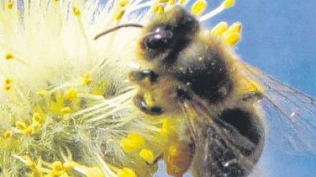 Gesunde Bienen: Die Seuche ist im Kreis Neu-Ulm zurückgegangen.