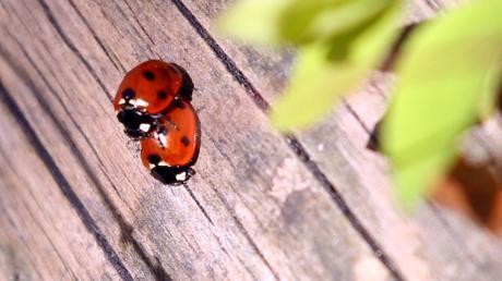 Diese Marienkäfer machen beim Liebesakt nicht so schlimme Geräusche wie ein Pärchen in der Nacht in Niederraunau.