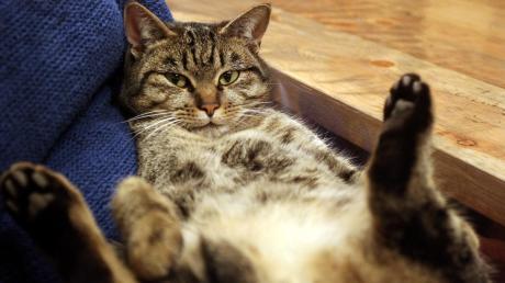 Ein Mann hat im Allgäu über 70 Katzen gehalten.