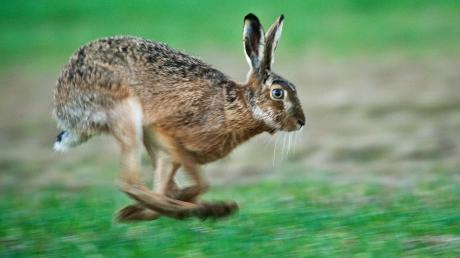 In Oberfahlheim ist ein Tier an der Hasenpest gestorben.