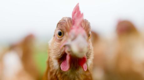Für Hühner ist die Newcastle-Krankheit gefährlich.