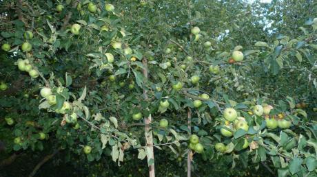 Unser Archivbild zeigt einen Boskopbaum von Rudolf Erne, der nach Angaben des Pfuhler Hobby-Apfelbauern heuer keine Früchte trägt.