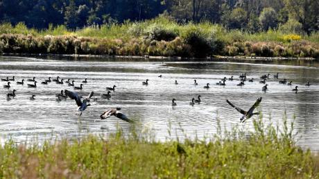Am Plessenteich bei Gerlenhofen leben Dutzende verschiedene Vogelarten. Der anhaltend niedrige Wasserstand macht vielen von ihnen zu schaffen, auch Amphibien wie Laubfrösche leiden darunter.