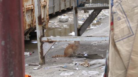 Viele Streunerkatzen leben auf Mülldeponien oder in Gewerbegebieten, wo sie um Fressen streiten müssen und oft Revierkämpfe austragen.