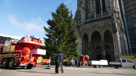Mit Polizeibegleitung gelang am Donnerstag der gefahrlose Transport eines Baumes in Ulm. Nun steht er auf dem Münsterplatz.