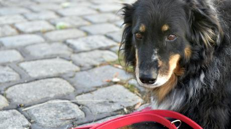 Große Hunde und Kampfhunde müssen in Obergriesbach jetzt an eine kürzere Leine.