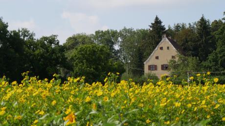 Von Bienen geschätzt, von Wildschweinen nicht: Silphie-Pflanzung beim Schloss Neubronn.