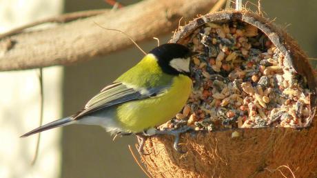 Eine Kohlmeise bedient sich am Vogelfutter. So sollte es eigentlich sein.