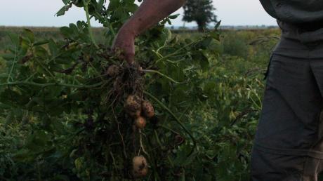 Ein Kartoffelfeuer bezeichnet üblicherweise ein Feuer auf einem Acker, in dem das bereits vertrocknete Kraut geernteter Kartoffeln verbrannt wird.