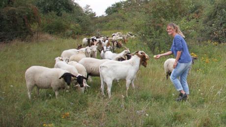 Monika Weber vom Umweltamt Ingolstadt belohnt die Arbeit der Schafe mit einigen Äpfel.