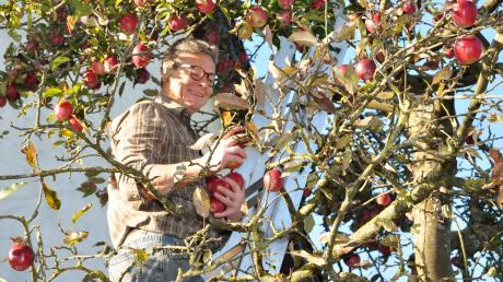 Einer schöner als der andere: Hans Wiest in seinem Gloster-Apfelbaum. Weil ihm die pausbackigen Früchte zum Saften zu schade sind, schneidet er einen Teil von ihnen in Ringe und trocknet sie.
