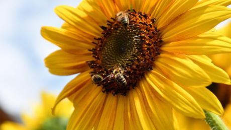 Die Bienen sind zumindest in Bayern gerettet. Das Volksbegehrenjedenfalls wardas bisher erfolgreichste im Freistaat.