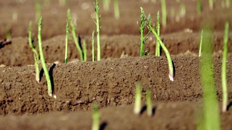 """In Ehekirchen stehen Spargelfelder in der Kritik, dessen Böden kaum mehr Wasser durchsickern lassen. Genau das Gegenteil soll mit dem Projekt """"boden:ständig"""" erreicht werden."""