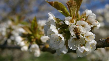 Auf dem Gelände zwischen Tennisheim und Sportplatz in Karlshuld sollen künftig Obstbäume blühen.