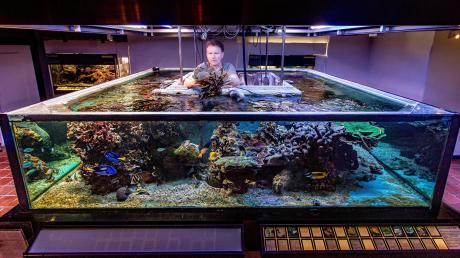 Aquarist Jörg Jahns vom Juramuseum in Eichstätt hebt eine Koralle aus dem großen Salzwasseraquarium. Das größte und artenreichste Riff Bayerns muss evakuiert werden.
