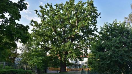 Die stattliche Eiche in Ehekirchen wurde vor exakt 150 Jahren zur Erinnerung an die Gründung des Zweiten Deutschen Reiches gepflanzt.