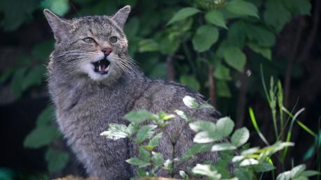 Wildkatzen wurden bis Anfang des 20. Jahrhunderts bejagt, weil sie angeblich Hasen und Rehkitze erlegen. Dabei haben es die Tiere nur auf Mäuse abgesehen.
