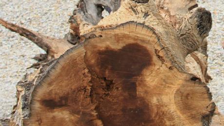 Die Eiche, die aus dem Kiesweiher gefischt wurde, ist möglicherweise 6000 Jahre alt.