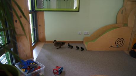 Eine Entenfamilie hat sich in Karlshuld in die Kinderkrippe verirrt. Offenbar hatte sie die Gunst der Stunde genutzt und war durch eine offene Tür in den Gruppenraum gekommen.