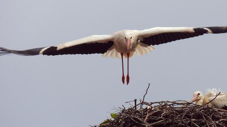 Schützend überfliegt der Storchenvater das Nest auf dem Schwedentor in Rennertshofen. 58 Jungvögel kamen in diesem Jahr aus Nestern im Kreis Neuburg-Schrobenhausen. Die Vögel sammeln sich nun für den weiten Flug in den Süden.