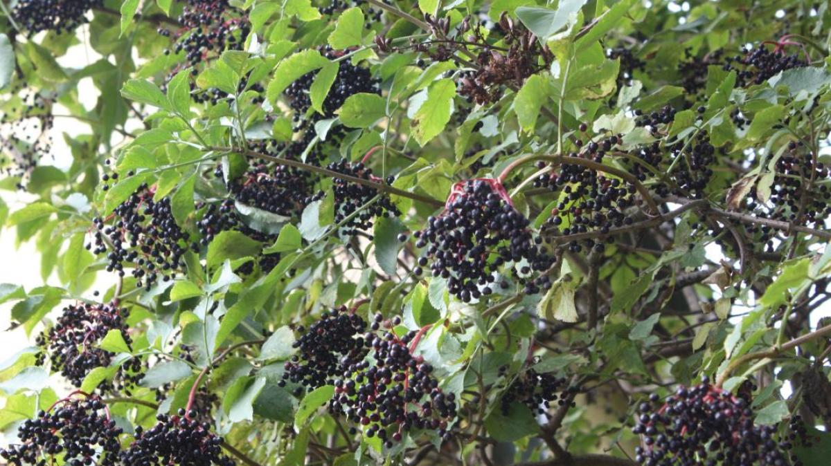 Gartenbau serie kultpflanze der kelten nachrichten - Gartenbau augsburg ...