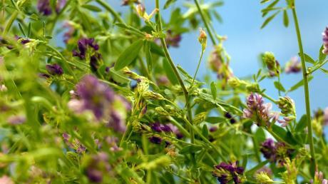 Die Luzerne, auch Alfalfa genannt, wird in der Landwirtschaft als Futtermittel verwendet. Die Nachfrage nach ihr steigt – auch im Ries. Die violetten Blüten lassen sich wohl ab Mai wieder bewundern.
