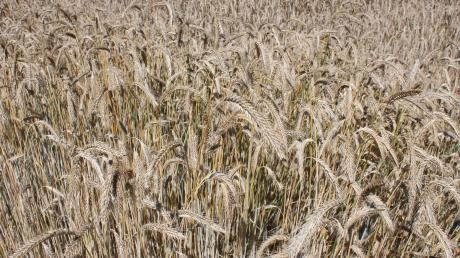 Auf 40 Prozent der Flächen, die Landwirte im Kreis nutzen, wird Getreide angebaut. Der Klimawandel macht auch den Rieser Bauern zu schaffen: Die Temperaturen sind in den vergangenen 30 Jahren um drei Prozent angestiegen, die Niederschläge dagegen geringer.