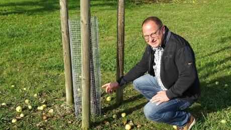 Bürgermeister Dietmar Höhenberger zeigt auf einen der angenagten Obststämme.