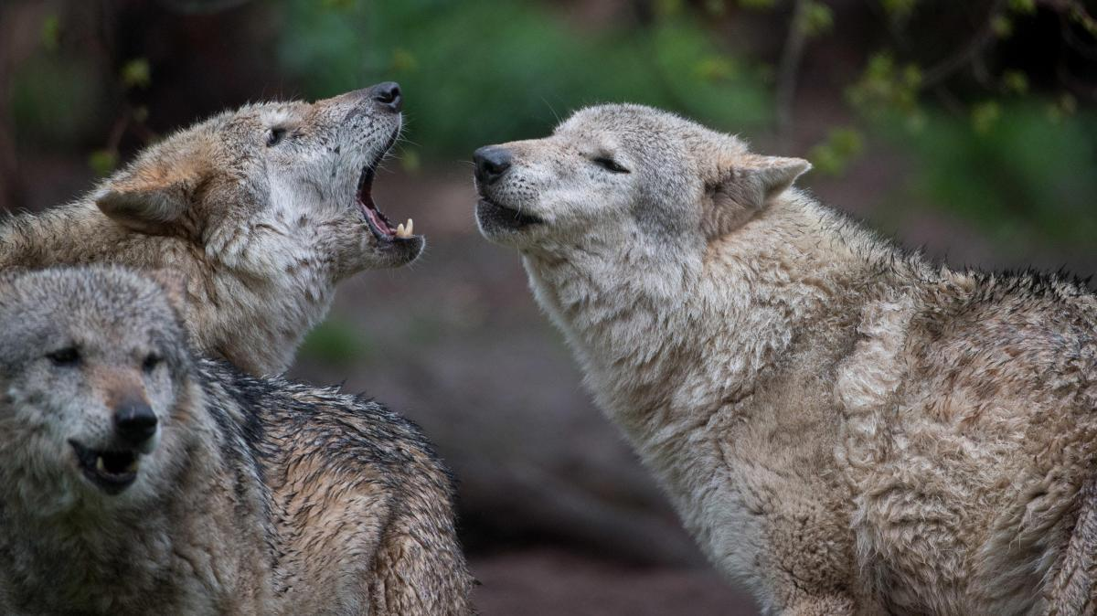 Lamas, Esel oder Abschießen: Was schützt vor dem Wolf?