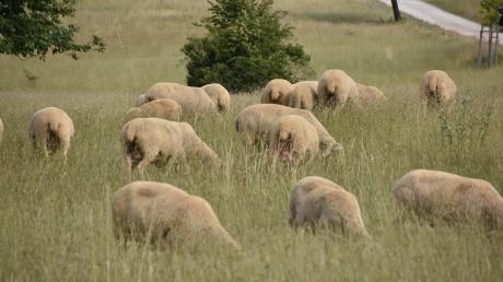 Von einer Weide in Bergheim wurden zwei trächtige Schafe gestohlen und aufgeschlitzt.
