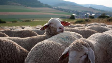 Die Schafe sind wohlbehalt zurück.