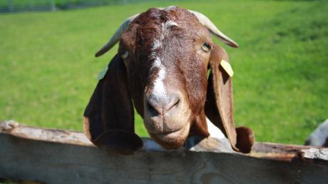 In Auhausen starben 16 Ziegen, nachdem ein Hund in deren Stall gelangt war.