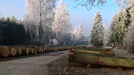 Im Aufhausener Staatswald können Kunden insgesamt 3793 Festmeter Furnier- und Schneidehölzer besichtigen.