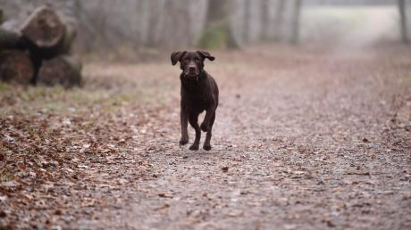 Labrador_Hund_Dez16_2_2.jpg