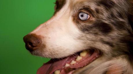 In Megesheim hat ein Hund der Rasse Australian Shepherd ein Kleinkind im Gesicht verletzt. Die Polizei hat das Tier als gefährlich eingestuft.