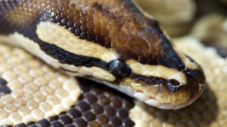 Die Polizei ermittelt in Mittelfranken wegen einer verletzten und ausgesetzten Python (Symbolbild)